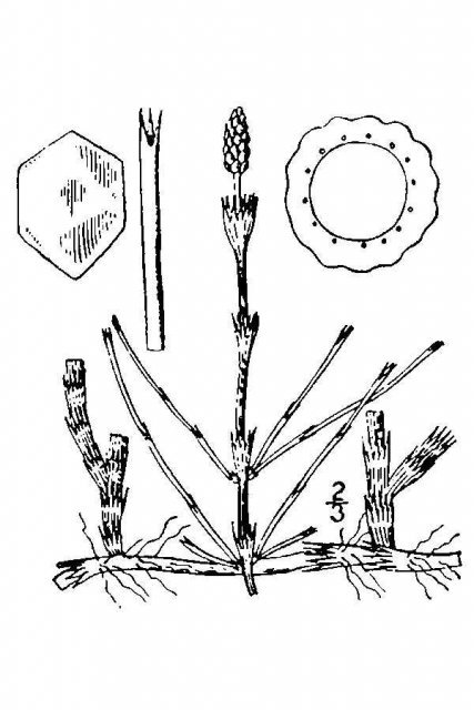 http://plants.usda.gov/java/largeImage?imageID=eqli_001_avd.tif