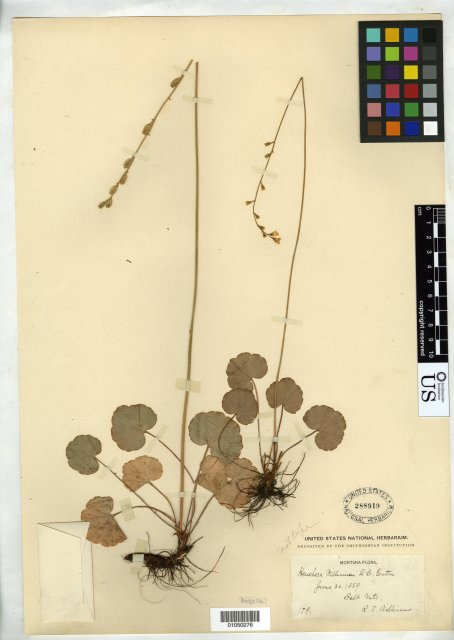 http://collections.mnh.si.edu/search/botany/?irn=10114474