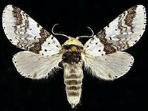 http://mothphotographersgroup.msstate.edu/species.php?hodges=7940