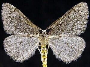 http://mothphotographersgroup.msstate.edu/species.php?hodges=6910