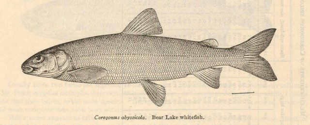 http://content.lib.washington.edu/cgi-bin/getimage.exe?CISOROOT=/fishimages&CISOPTR=38278&DMWIDTH=10000&DMHEIGHT=10000