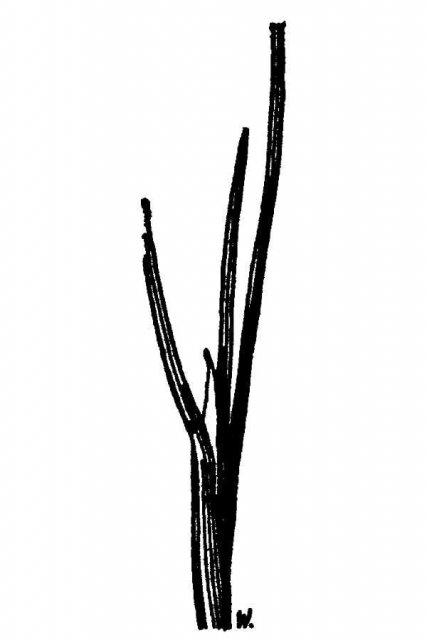 http://plants.usda.gov/java/largeImage?imageID=polo_001_avd.tif