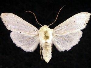 http://mothphotographersgroup.msstate.edu/species.php?hodges=10205