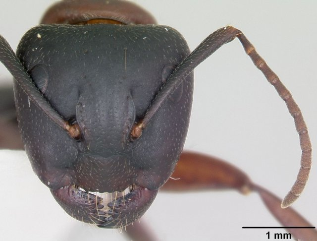 http://www.antweb.org/description.do?genus=camponotus&name=novaeboracensis&rank=species