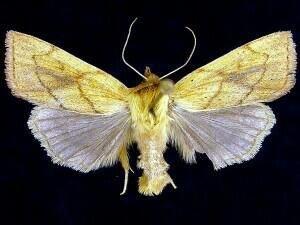 http://mothphotographersgroup.msstate.edu/species.php?hodges=10607