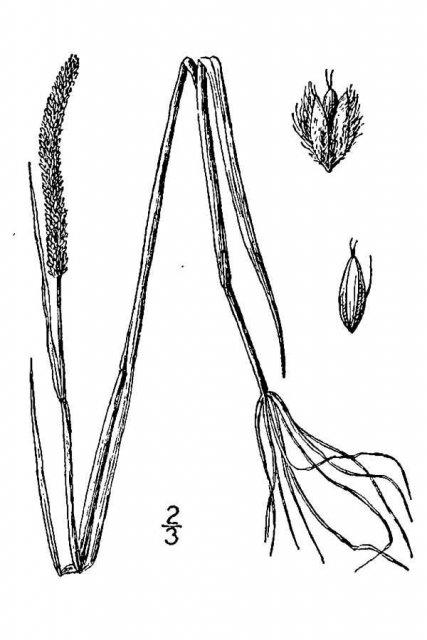 http://plants.usda.gov/java/largeImage?imageID=alar5_001_avd.tif