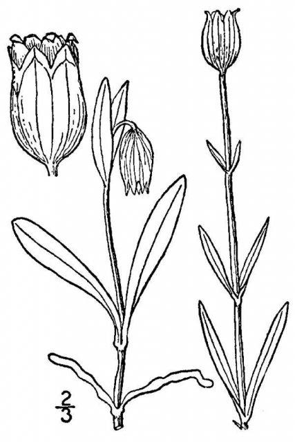 http://plants.usda.gov/java/largeImage?imageID=lyap_001_avd.tif