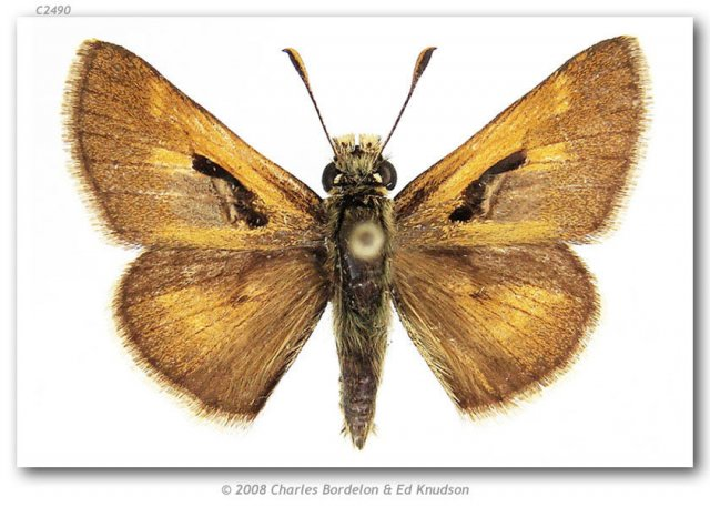 http://butterfliesofamerica.com/images/Hesperiidae/Hesperiinae/Polites_draco/Polites_draco_M_USA_CO_Mineral_Co_Creede_26-VI-85.jpg