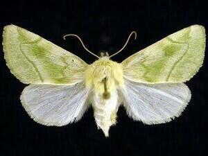 http://mothphotographersgroup.msstate.edu/species.php?hodges=9816