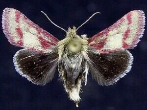 http://mothphotographersgroup.msstate.edu/species.php?hodges=11210