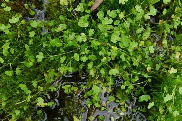 http://www.biopix.com/high-arctic-buttercup-ranunculus-hyperboreus_photo-101641.aspx