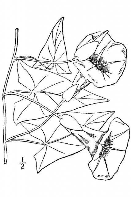 http://plants.usda.gov/java/largeImage?imageID=cose14_001_avd.tif