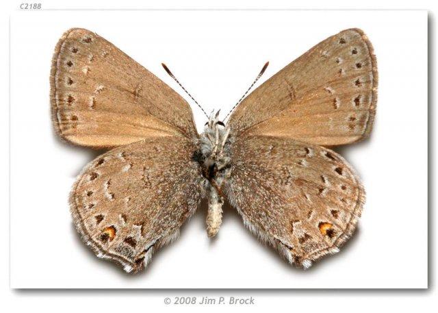 http://butterfliesofamerica.com/images/Theclinae/eumaeini/Satyrium_behrii_crossi/Satyrium_behrii_crossi_USA_NEW_MX_Union_Co_Tollgate_Canyon_nr_Folsom_20-VI-90_3.jpg