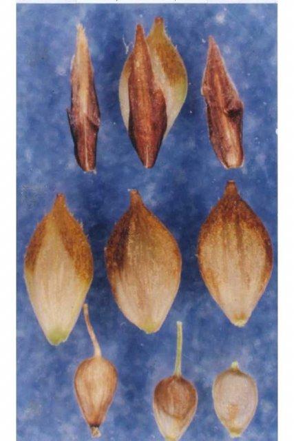 http://plants.usda.gov/gallery/large/caan15_002_lvp.jpg