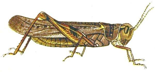http://commons.wikimedia.org/wiki/File:Melanoplus_spretusAnnReportAgExpStaUM1902B.jpg