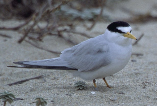 http://commons.wikimedia.org/wiki/File:California_Least_Tern.jpg
