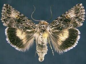 http://mothphotographersgroup.msstate.edu/species.php?hodges=10042.2