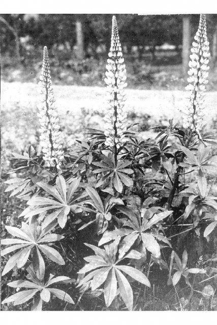 http://plants.usda.gov/gallery/large/lupo2_007_lvp.jpg