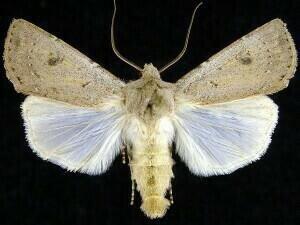 http://mothphotographersgroup.msstate.edu/species.php?hodges=10641