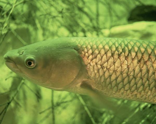 http://animaldiversity.ummz.umich.edu/site/resources/usfws/grasscarp.jpg/medium.jpg