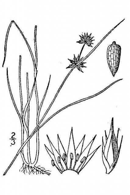 http://plants.usda.gov/java/largeImage?imageID=juno2_001_avd.tif