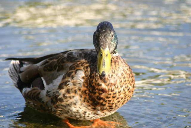 https://commons.wikimedia.org/wiki/File:Duck_Close_up.jpg
