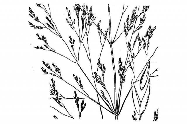 http://plants.usda.gov/java/largeImage?imageID=agor_001_ahd.tif