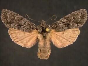 http://mothphotographersgroup.msstate.edu/species.php?hodges=9924.1