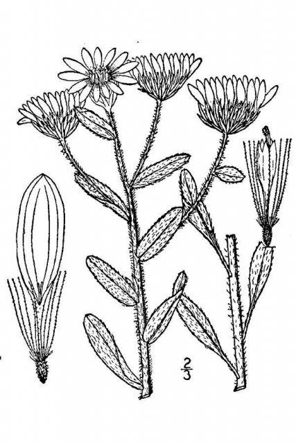 http://plants.usda.gov/java/largeImage?imageID=chvi10_001_avd.tif