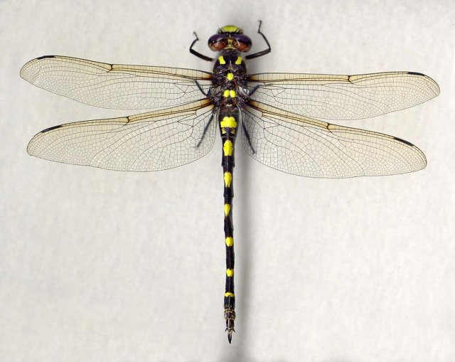 http://odonata.lifedesks.org/image/view/50/_original