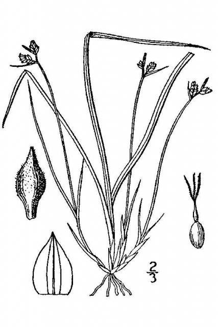 http://plants.usda.gov/java/largeImage?imageID=cade7_001_avd.tif