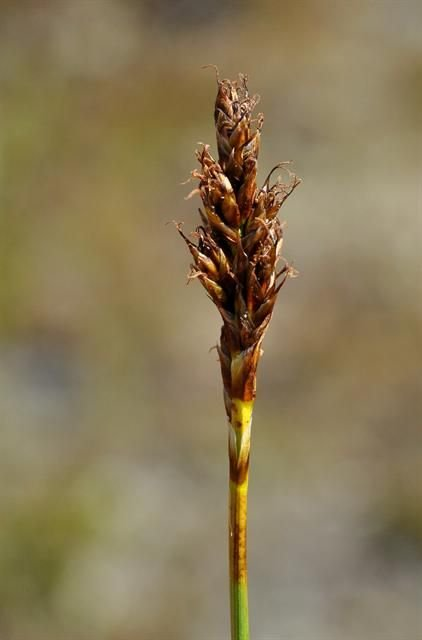 http://www.biopix.com/false-sedge-kobresia-simpliciuscula_photo-94411.aspx