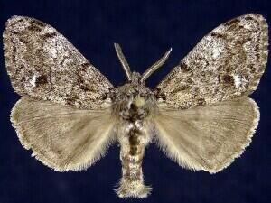 http://mothphotographersgroup.msstate.edu/species.php?hodges=8306