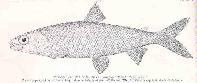 http://content.lib.washington.edu/cgi-bin/getimage.exe?CISOROOT=/fishimages&CISOPTR=34233&DMWIDTH=10000&DMHEIGHT=10000