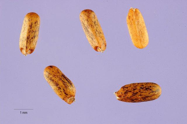 http://plants.usda.gov/java/largeImage?imageID=moodg3_001_ahp.tif