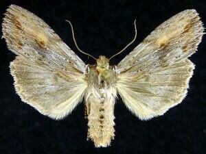 http://mothphotographersgroup.msstate.edu/species.php?hodges=9891