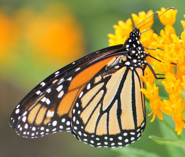 http://tolweb.org/tree/ToLimages/monarch(danausplexippus)male2a.jpg