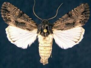 http://mothphotographersgroup.msstate.edu/species.php?hodges=9378