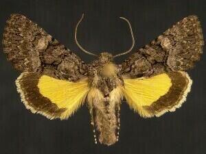 http://mothphotographersgroup.msstate.edu/species.php?hodges=9601