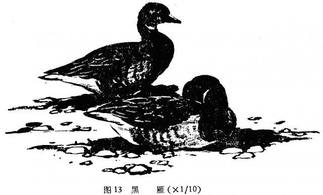 http://csdb.ioz.ac.cn/images/Upload_images/Animalia/Chordata/Aves/Anseriformes/Anatidae/Anserinae/Branta/bernicla/D43A12A8-E682-4D8A-AE0C-A449B5B2610A.jpg