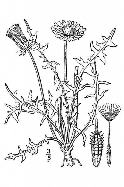 http://plants.usda.gov/java/largeImage?imageID=leer2_001_avd.tif