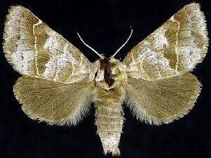 http://mothphotographersgroup.msstate.edu/species.php?hodges=7900
