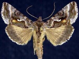 http://mothphotographersgroup.msstate.edu/species.php?hodges=8913