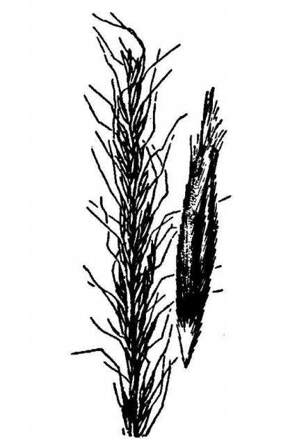 http://plants.usda.gov/java/largeImage?imageID=stco3_001_avd.tif