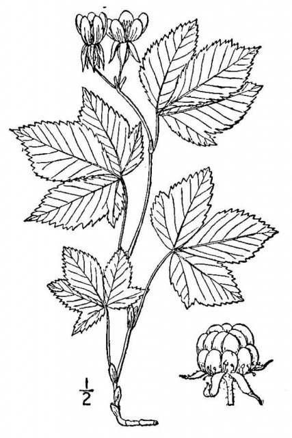 http://plants.usda.gov/java/largeImage?imageID=rutr9_001_avd.tif