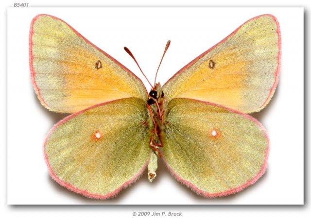 http://butterfliesofamerica.com/images/Pieridae/Coliadinae/colias_m_meadii/108_Colias_m_meadii_F_Beartooth_Plateau_Carbon_Co_MT_USA_01-VIII-77_2.jpg