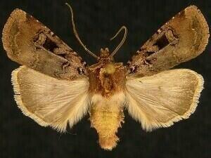http://mothphotographersgroup.msstate.edu/species.php?hodges=10755