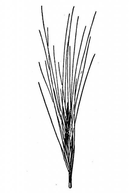 http://plants.usda.gov/java/largeImage?imageID=agsa6_001_avd.tif