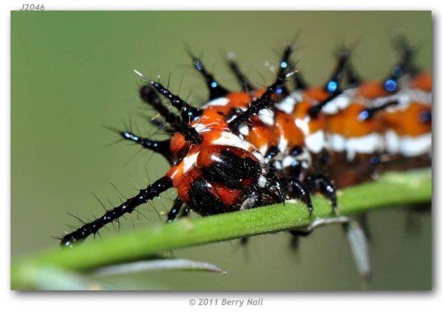 http://butterfliesofamerica.com/images/Nymphalidae/Argynnini/Euptoieta_claudia/6_Euptoieta_claudia_last_instar_larva_on_Linum_sp._USA_TEXAS_Starr_Co._Falcon_Heights_09-V-2010_05.JPG