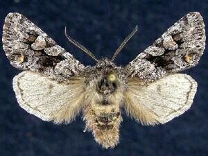 http://mothphotographersgroup.msstate.edu/species.php?hodges=10504